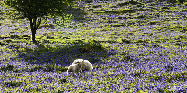 Two Sheep, Ovis aries, grazing among Bluebells at Glenariff in County Antrim