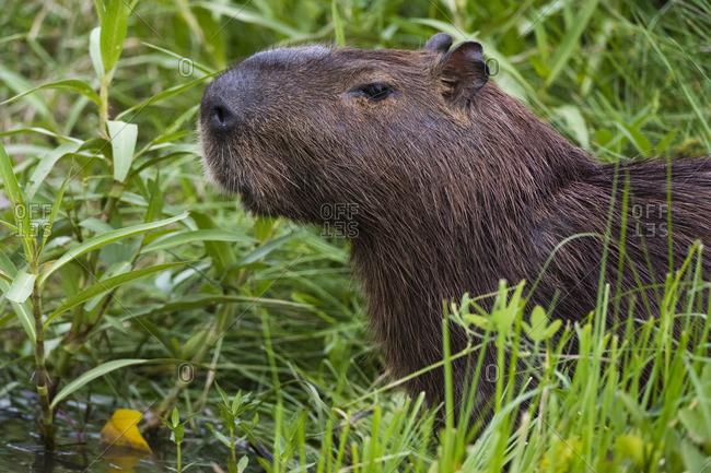 Close up of Capybara, Hydrochaeris hydrochaeris, in the Pantanal Wetlands