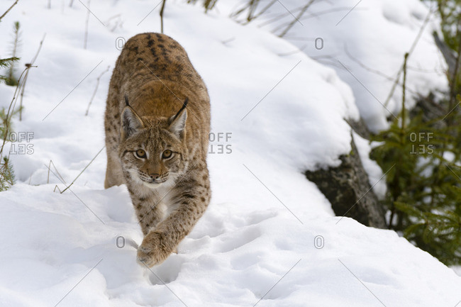 A European lynx, Lynx linx, walking in Bavarian Forest National Park