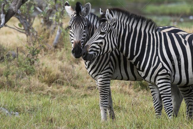 Burchell's zebra, Equus burchellii, in Okavango Delta's Khwai concession