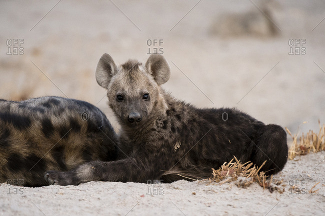 A spotted hyaena cub, Crocuta crocuta, at the den in Okavango Delta's Khwai concession