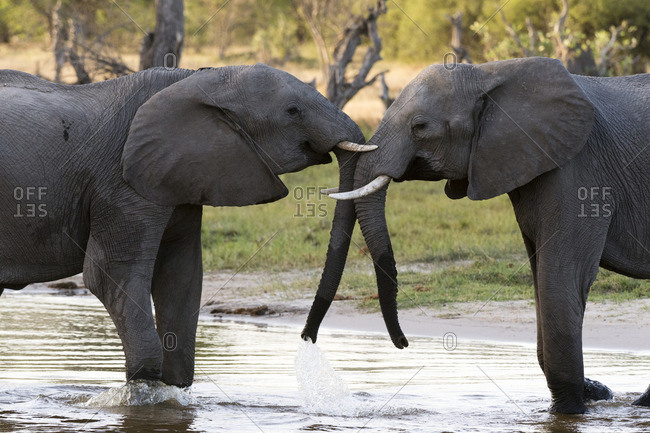 Two African elephants, Loxodonta africana, sparring in Okavango Delta's Khwai concession
