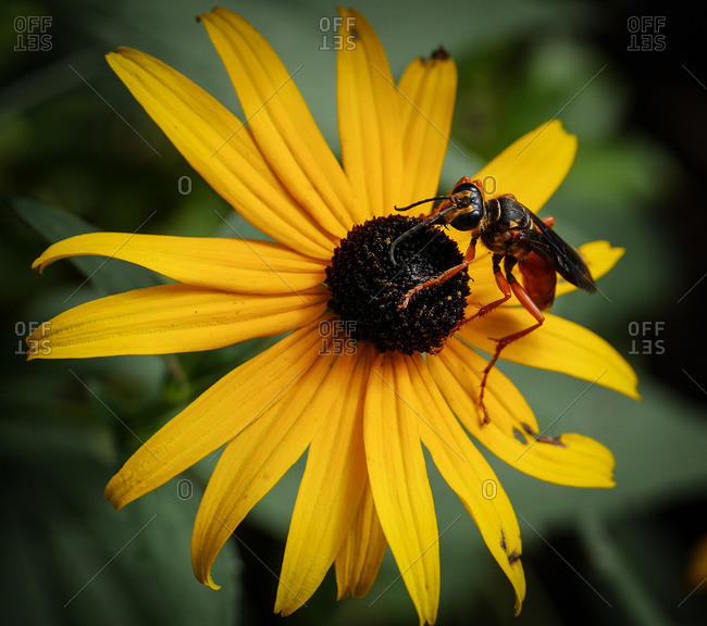 A hornet feeding on a black-eyed susan flower