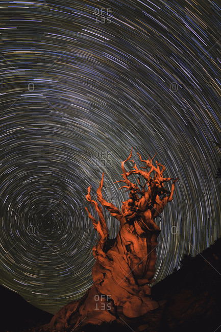 Long exposure of star trails above a Bristlecone pine tree in California, USA