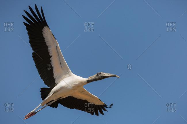 A wood stork, Mycteria americana, in flight along the Trans-Pantanal Highway in Brazil