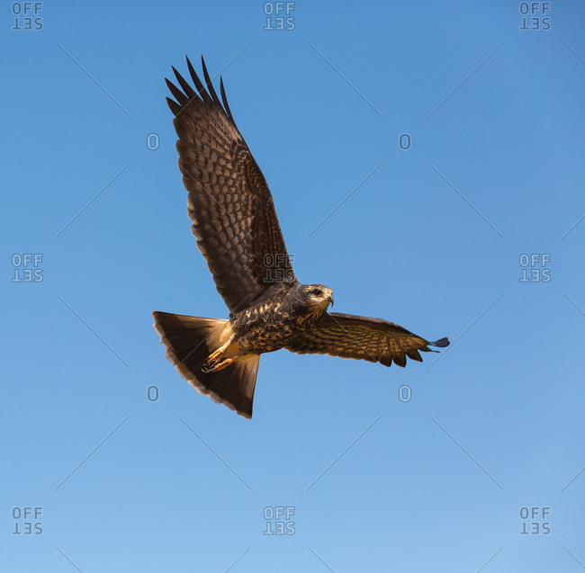 A savanna hawk, Buteogallus meridionalis, flying in the Pantanal region of Brazil