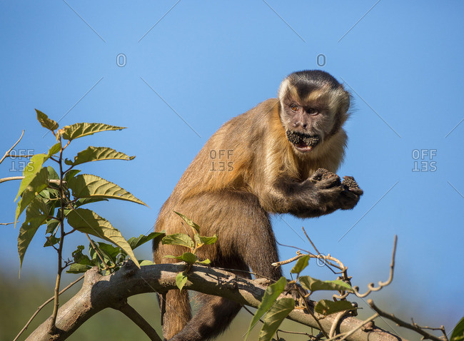 A tufted capuchin, Cebus apella, with food in its mouth and hands, crossing the treetops along the Trans-Pantanal Highway in Brazil