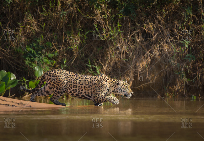 A jaguar, Panthera onca, stalking prey and entering the Cuiaba River