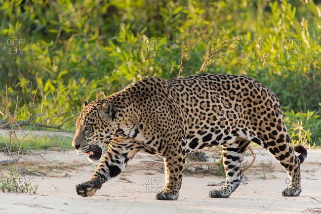 A large male jaguar, Panthera onca, walks on the sandy bank of the Cuiaba River