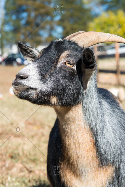 A curious goat at an animal refuge in rural Virginia