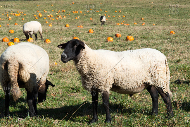 Rescued sheep graze in a field at an animal refuge in rural Virginia