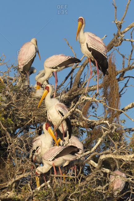 Yellow-billed stork (Mycteria ibis) at nesting colony, Chobe River, Botswana, Africa