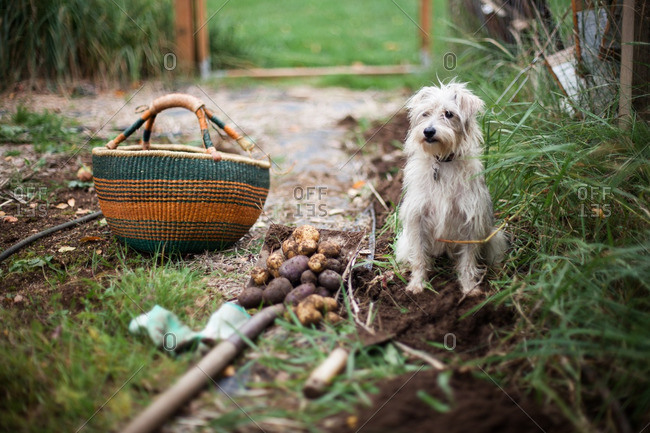 Dog sitting by potatoes on a shovel from a garden