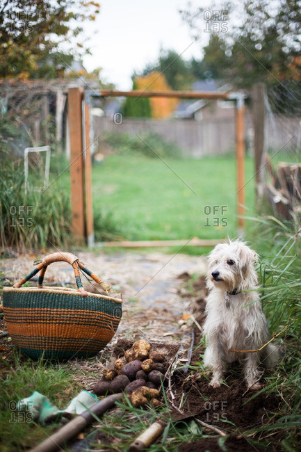 White dog sitting by potatoes on a shovel from a garden