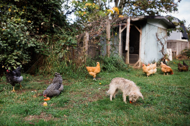 Free range chickens and a dog eating orange peels