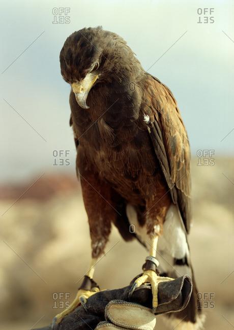 Falcon perched on a falconer's glove