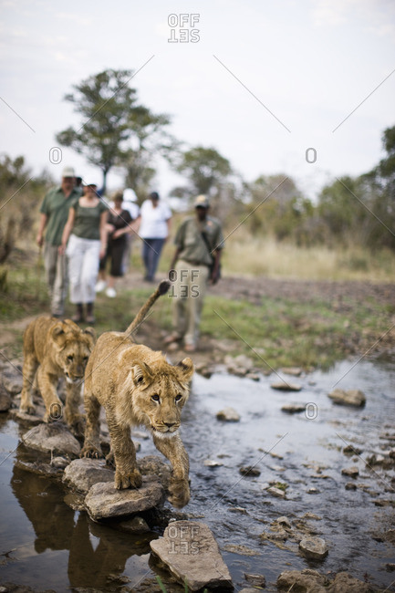 Tourists and a park ranger watching lion cubs