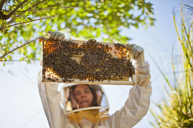 Beekeeper checking a beehive for honey