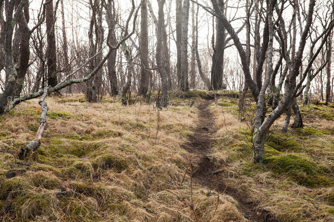 Narrow path on a mossy hillside between bare trees in Thingvellir National Park, Iceland
