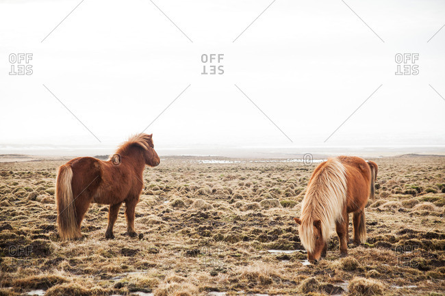 Icelandic horses grazing on a grassy plain in the mist