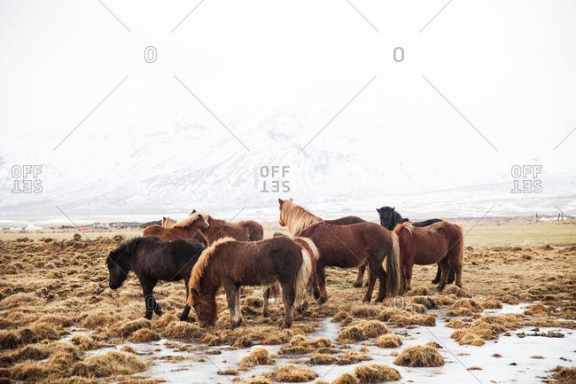 Herd of Icelandic horses grazing on a grassy plain