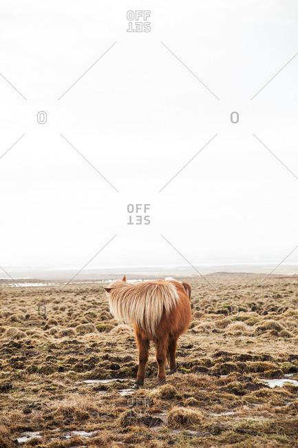 Icelandic horse standing on a grassy plain