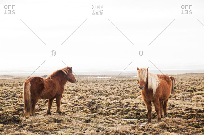 Two Icelandic horses standing on a vast frosty plain