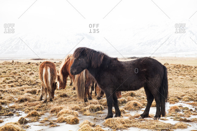 Brown and black Icelandic horses standing on a frozen grassy plain