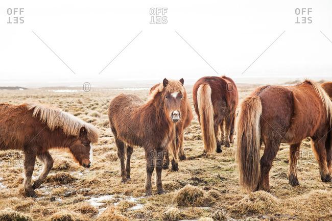 Herd of Icelandic horses grazing in a frosty pasture