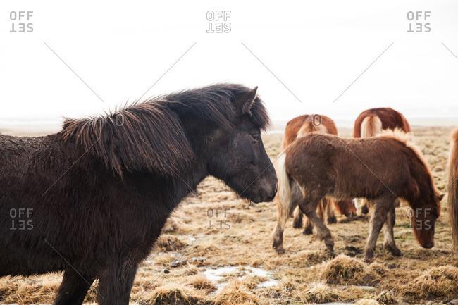 Icelandic horses grazing in a frozen pasture