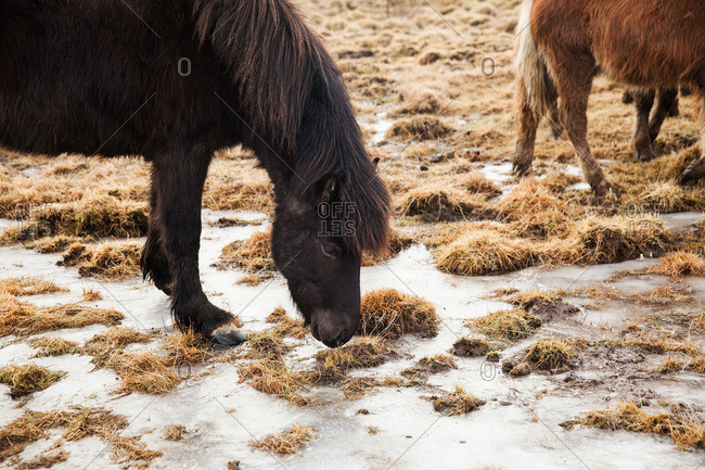 Icelandic horse grazing on grass between frozen puddles