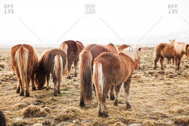 Brown Icelandic horses standing in a frozen pasture