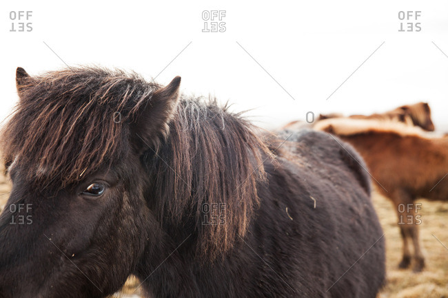 Close-up of a black Icelandic horse in a field