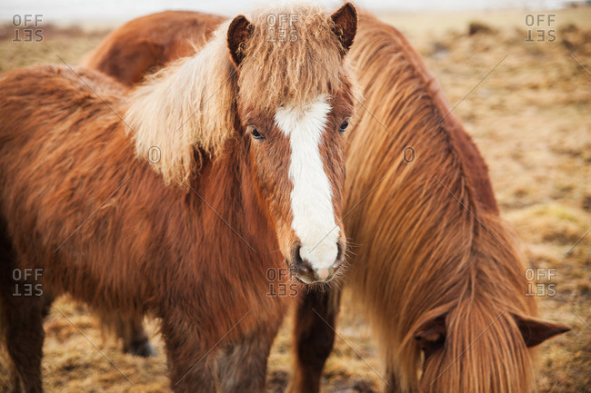 Two brown Icelandic horses grazing in a frozen pasture