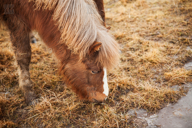 Brown Icelandic horse grazing on grass between frozen puddles