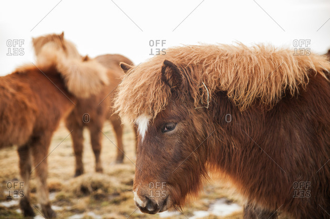 Group of brown Icelandic horses standing in a grassy pasture
