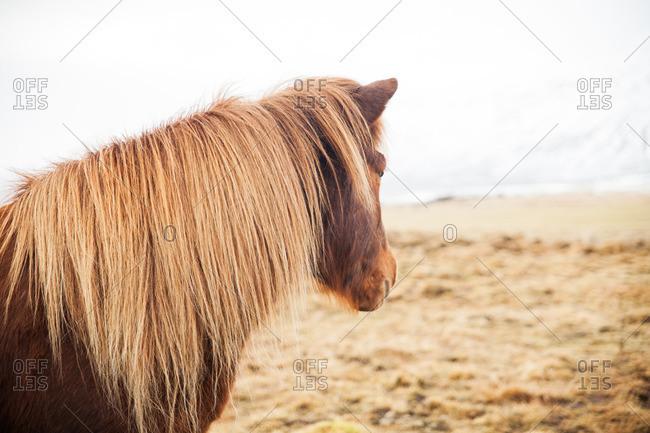 Icelandic horse standing on a frosty grass plain