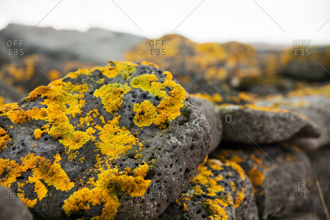 Patches of yellow lichen growing on porous rocks