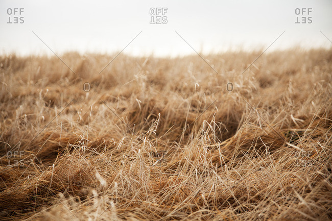 Close-up of dry grass on a hill