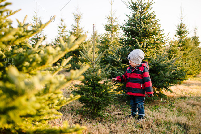 Little boy touching a pine tree on a Christmas tree farm