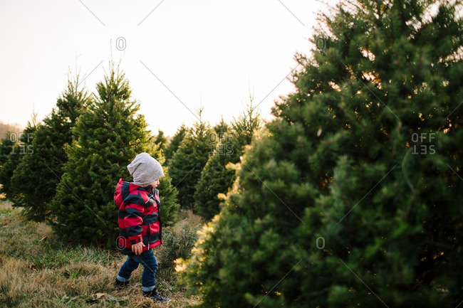Toddler looking for a tree on a Christmas tree farm