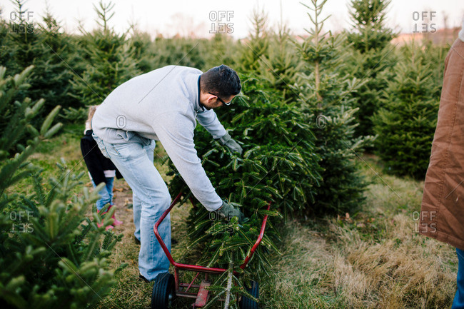 Man loading fresh cut Christmas tree onto a cart