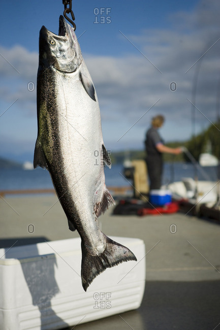 Freshly caught fish hanging by a hook on a pier.