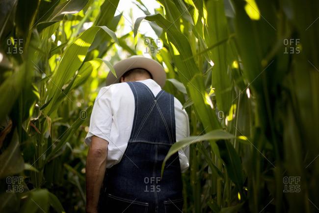 Farmer walking through a corn field.