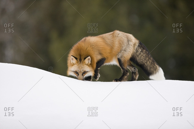 Fox sniffing a scent in the snow.