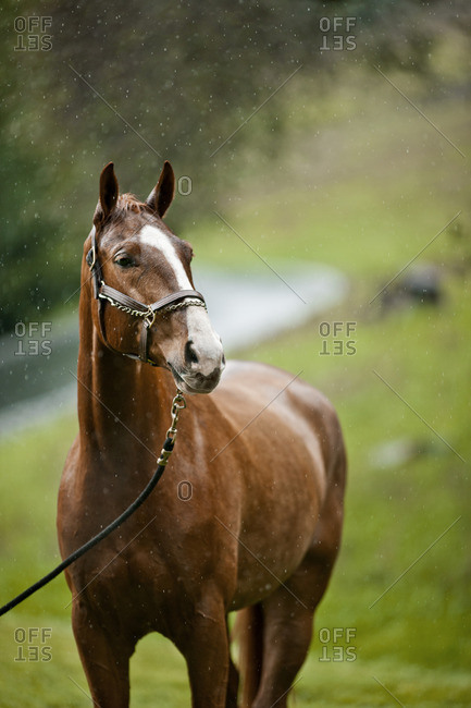 Brown horse standing in the rain.