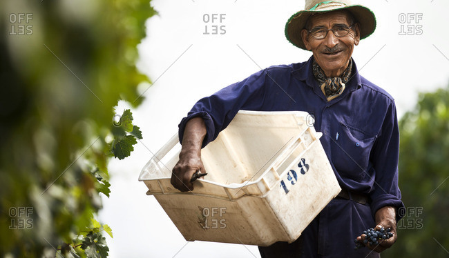 Senior man working in a vineyard.