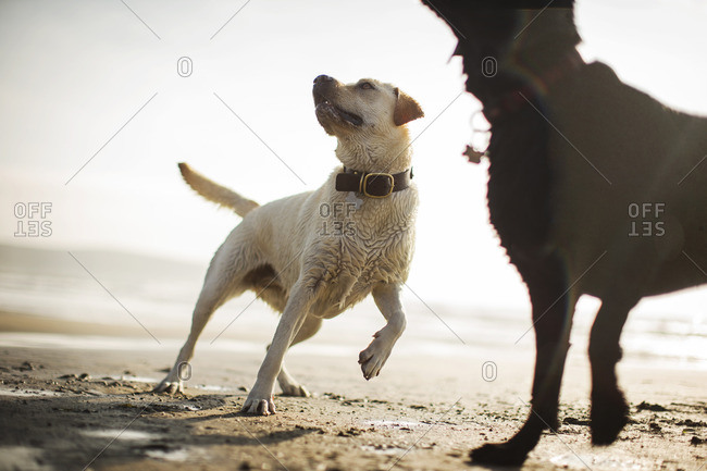 Two dogs playing on the beach.