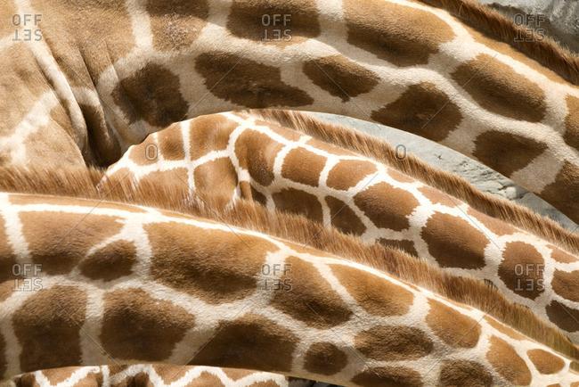 Detail of a giraffe neck pattern