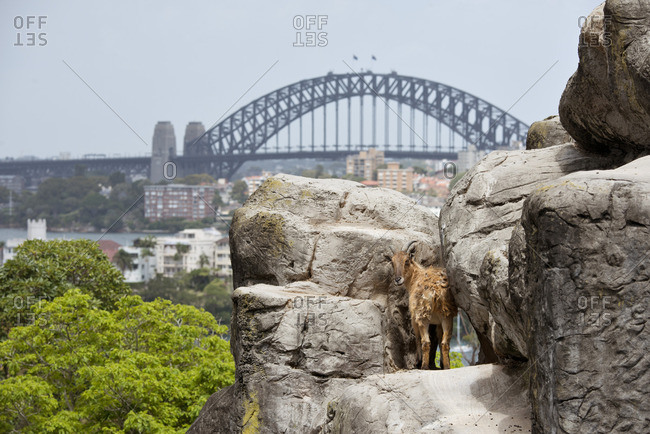 Mountain goat at a zoo in Sydney, Australia